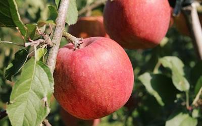 リンゴの収穫時期について