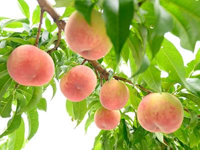 01 盆地の気候を活かした高品質な果物